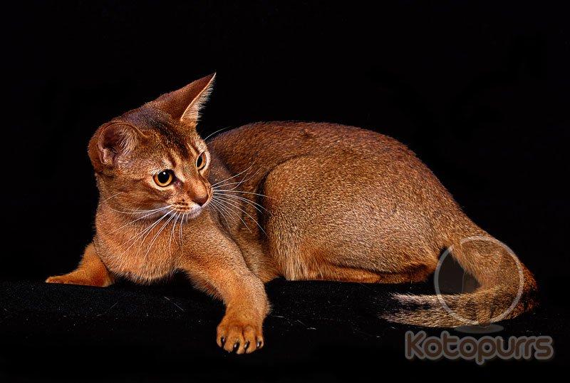 Абиссинские коты дикий окрас